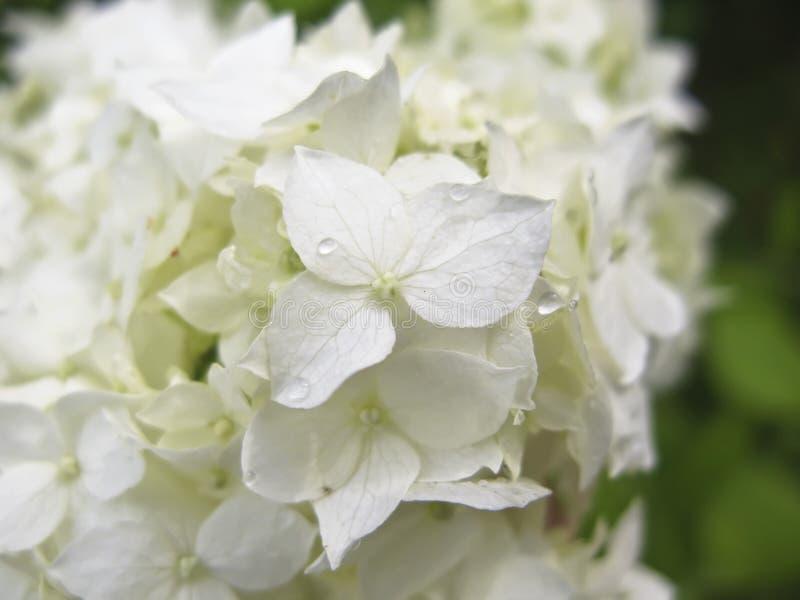 Weißer Hydrangea lizenzfreie stockbilder