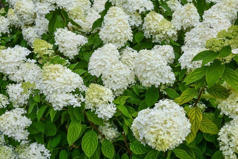 Weißer Hydrangea stockfotografie