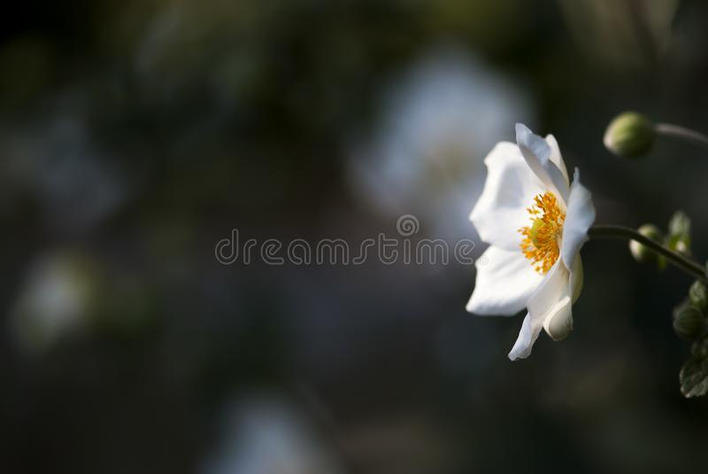 Weißer Japaner Anemone Bloom stockbilder