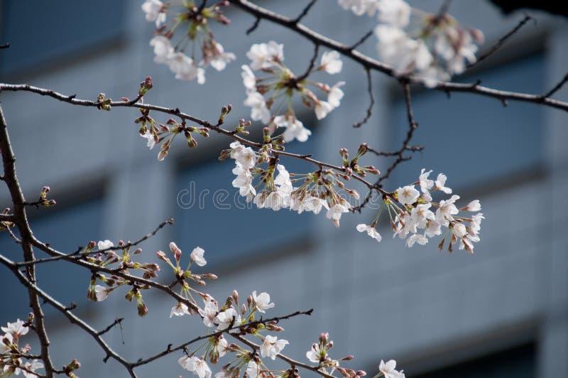 Weißer Kirschblüten-Kirschblüte-Baum in Tokyo-Stadt lizenzfreies stockfoto