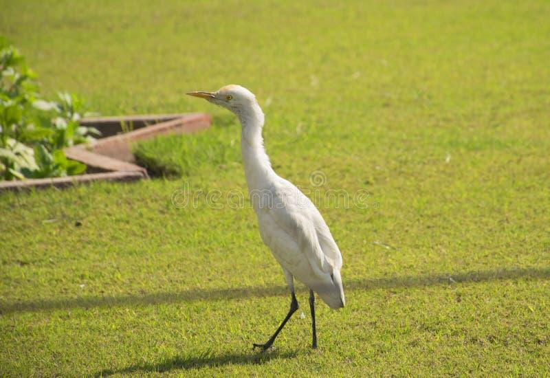 Weißer Kran, der auf Rasen geht stockbilder