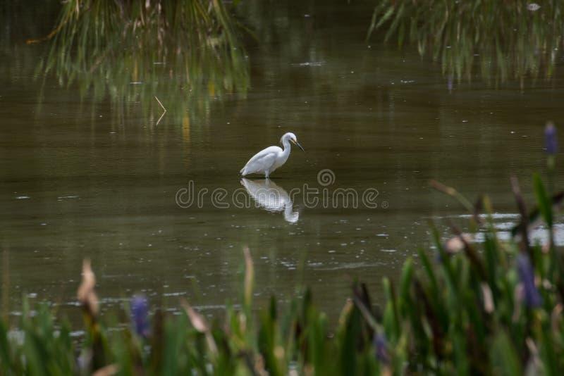 Weißer Kran im Wasser mit Reflexion lizenzfreie stockfotografie