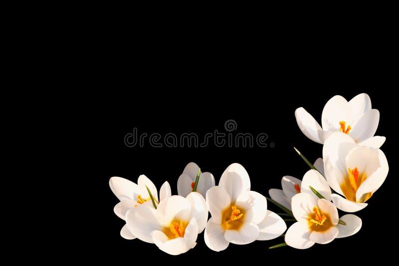 Weißer Krokus auf einem schwarzen Hintergrund lizenzfreie stockfotos