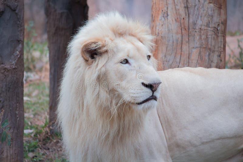 Weißer Löwe lizenzfreie stockfotos