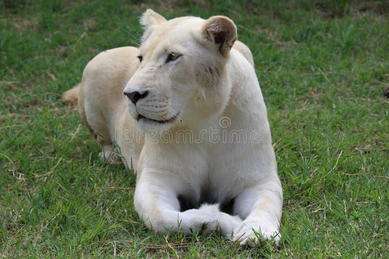 Weißer Löwe stockbild