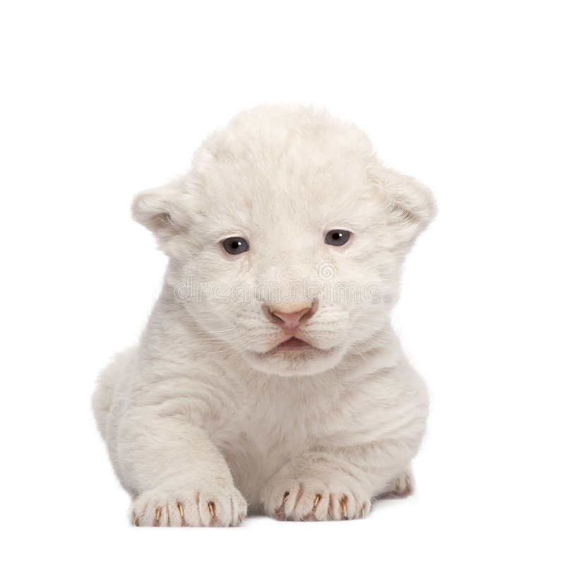 Weißer Löwe Cub (1 Woche) stockfotografie