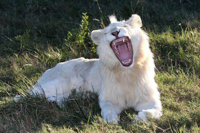 Weißer Löwe-geöffneter Mund stockbild
