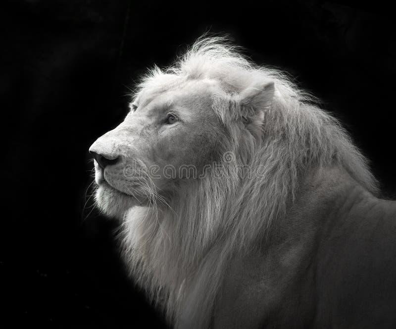 Weißer Löwe im schwarzen Hintergrund lizenzfreies stockfoto