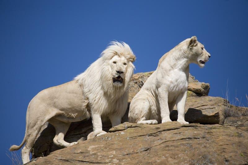 Weißer Löwemann und -frau auf dem Ausblick lizenzfreies stockfoto