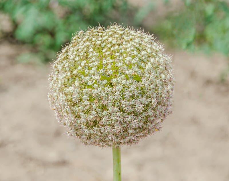 Weißer Lauch blüht, Ballblume, Klasse von monocotyledonous lizenzfreie stockfotos