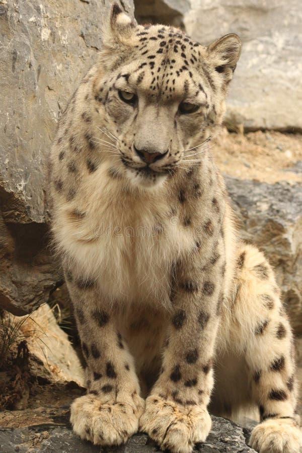 Weißer Leopard lizenzfreie stockfotografie