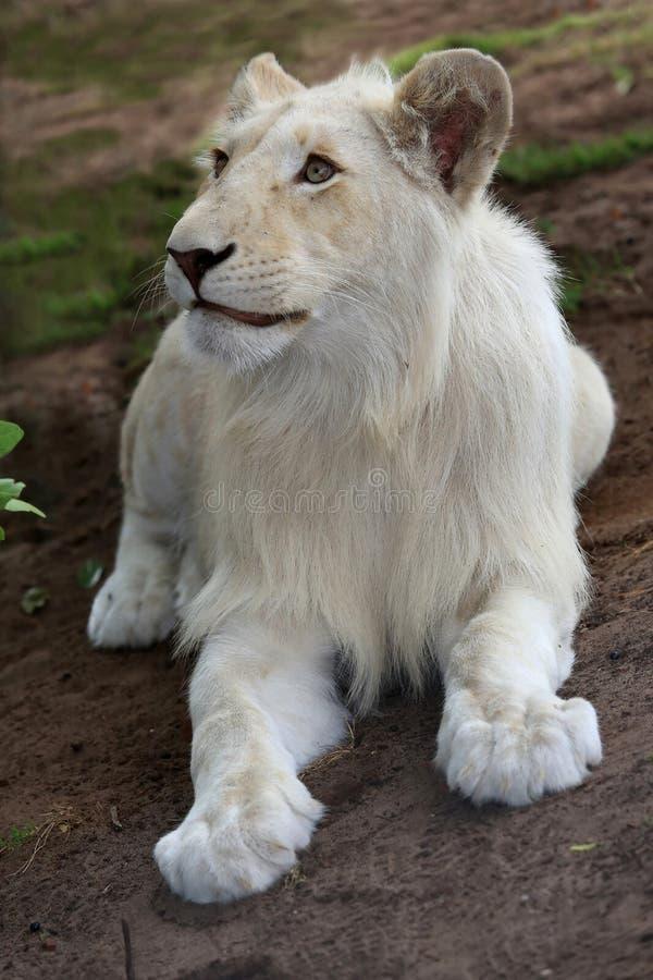 Weißer Lion Cub stockfotografie