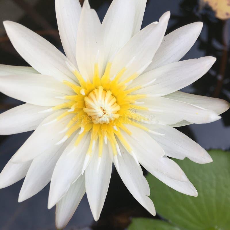 Weißer Lotos stockbilder