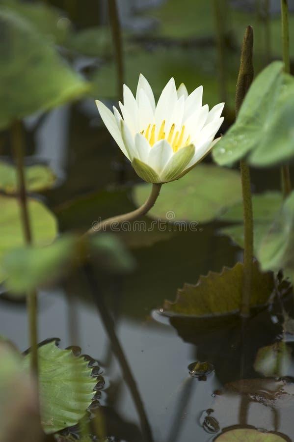 Weißer Lotos-Blume stockbild