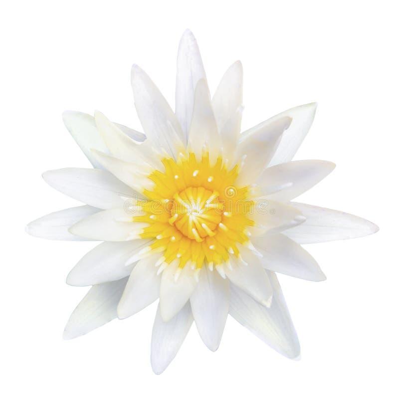 Weißer Lotos der Draufsicht lokalisiert auf weißem Hintergrund stockfoto