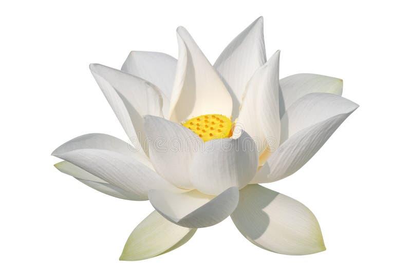 Weißer Lotos, getrennt, Ausschnittspfad eingeschlossen stockfotos