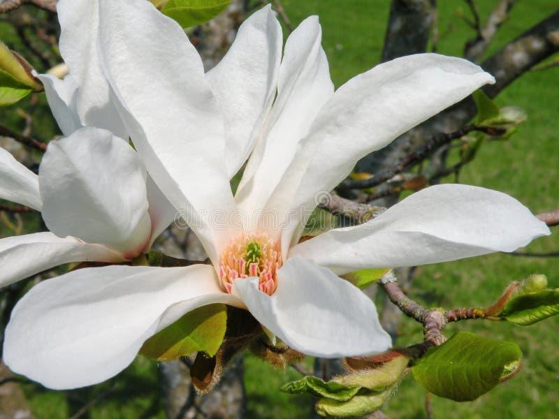 Weißer Magnolienboom im Frühjahr lizenzfreies stockbild