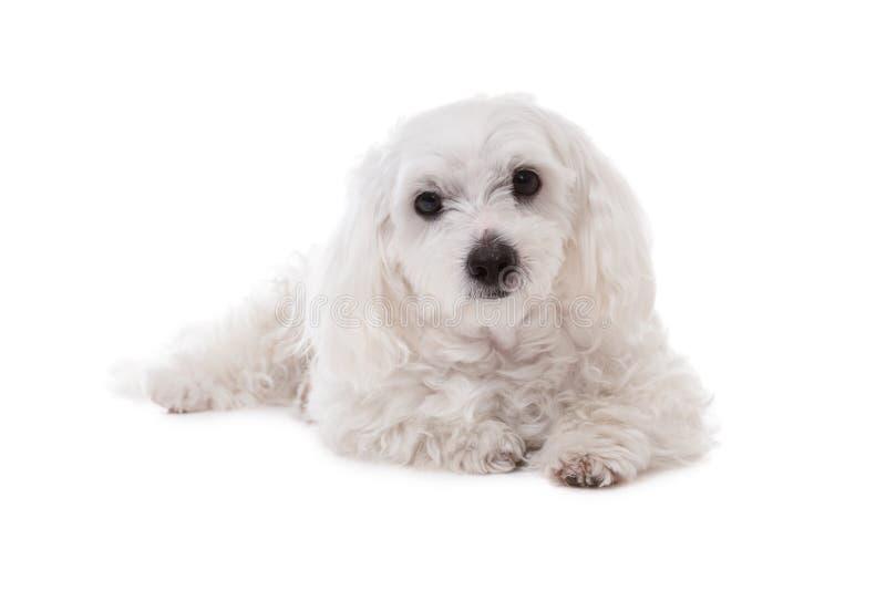 Weißer maltesischer Hund, der in camera liegt und schaut stockfotografie