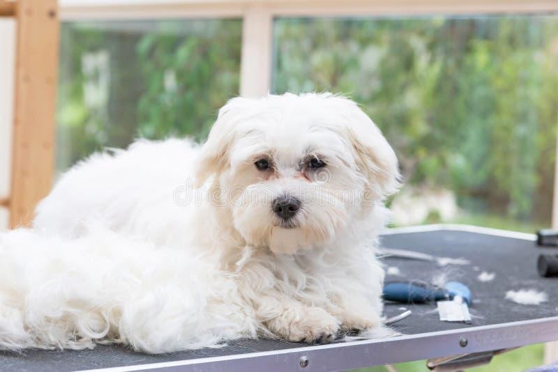 Weißer maltesischer Hund liegt auf der Pflegentabelle lizenzfreie stockbilder