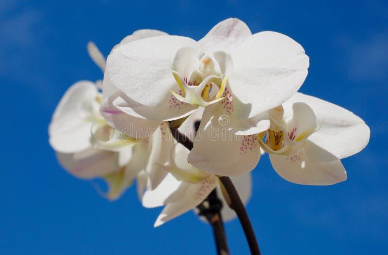 Weißer Orchideeabschluß oben stockfotografie