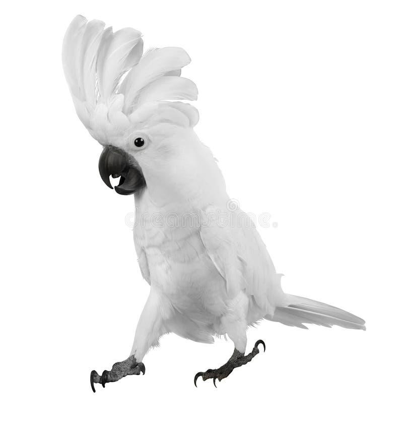 Weißer Papagei