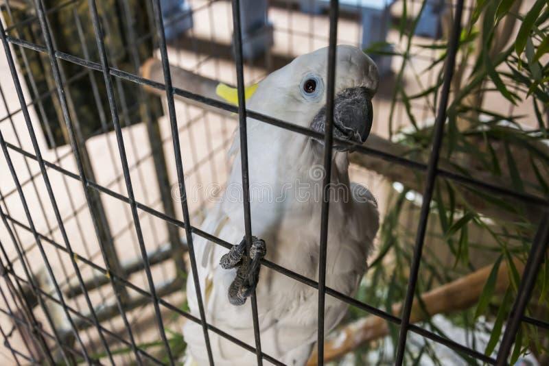 Weißer Papagei in der Gefangenschaft stockfotografie