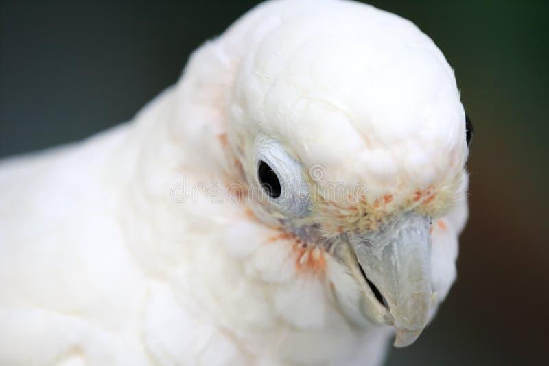 Weißer Papageienkopf stockbild