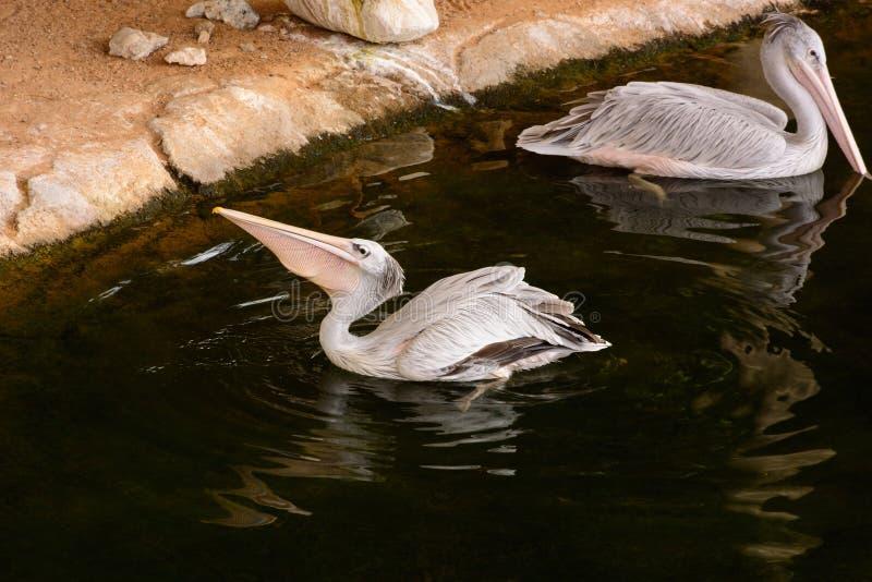 Weißer Pelikan stockfoto