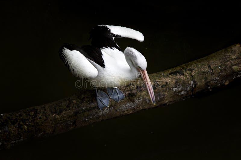 Weißer Pelikan auf Zweig lizenzfreie stockbilder