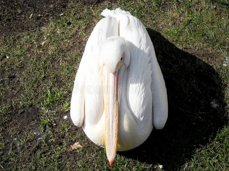 Weißer Pelikan, der auf grünem Gras sitzt stockfoto