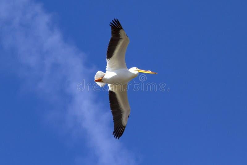 Weißer Pelikan im Flug lizenzfreie stockfotografie