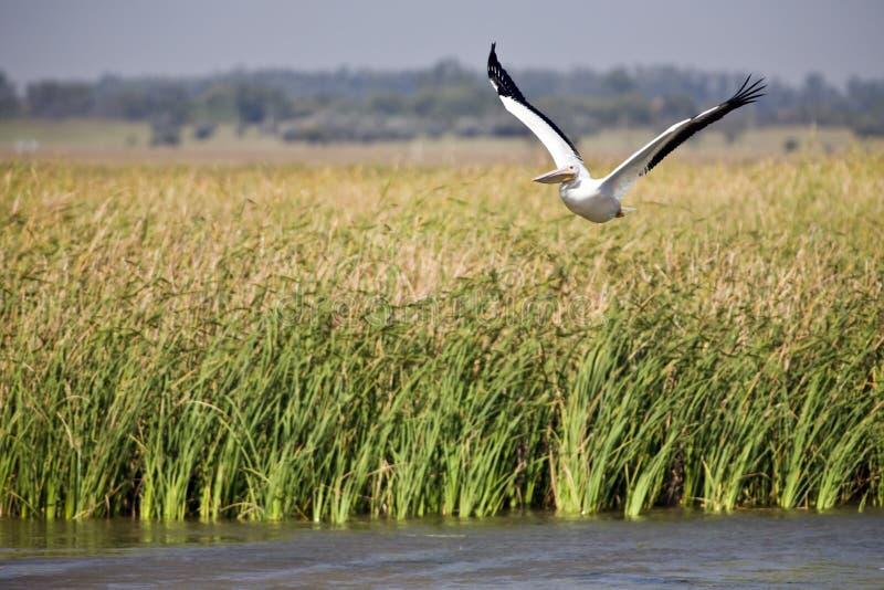 Weißer Pelikan im Flug stockfoto
