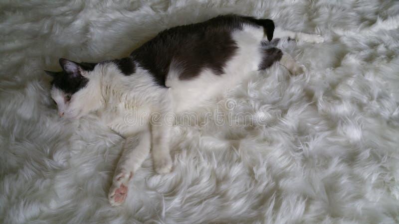 Weißer Pelz mit weißer und grauer Katze dehnte heraus mit der Endstückverpackung aus stockbilder