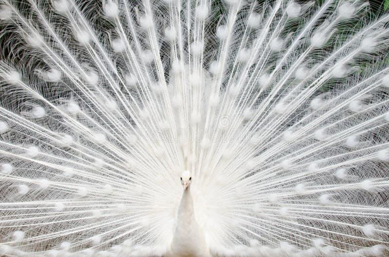 Weißer Pfau mit Federn heraus stockbild