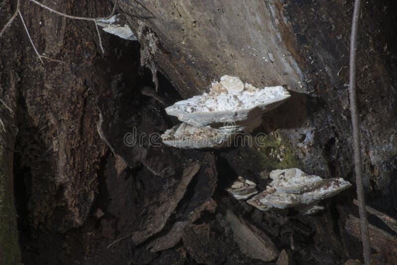 Weißer Pilz auf Verrottungsbaum lizenzfreie stockbilder