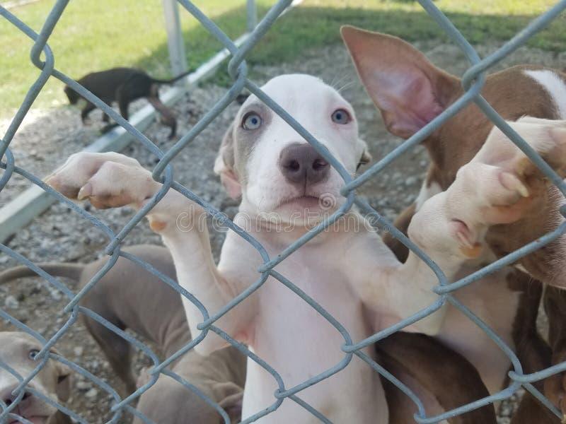 Weißer Pit Bull Puppy Growing Up im Schutz lizenzfreie stockbilder