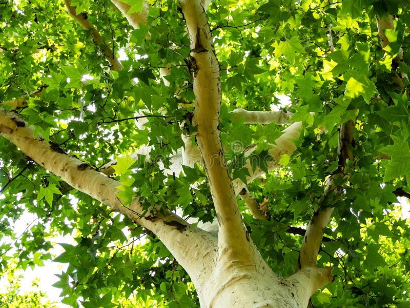 Weißer Platanenbaum mit hellgrünen Blättern lizenzfreies stockfoto