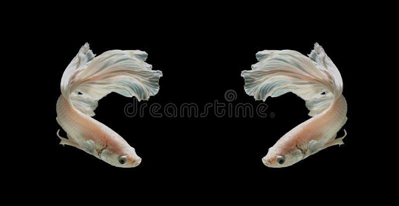 Weißer Platt-Platin-Siamesischer Kampffisch Weißes siamesisches fighti stockfotos