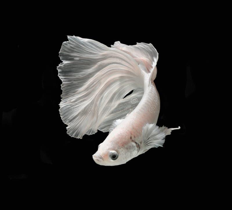 Weißer Platt-Platin-Siamesischer Kampffisch Weißes siamesisches fighti lizenzfreie stockfotos