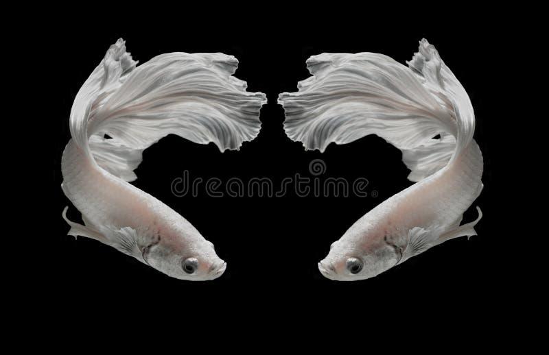 Weißer Platt-Platin-Siamesischer Kampffisch Weißes siamesisches fighti lizenzfreies stockfoto
