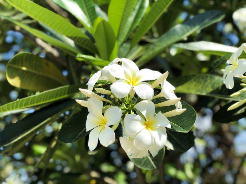 Weißer Plumeria blüht Hintergrund lizenzfreies stockbild