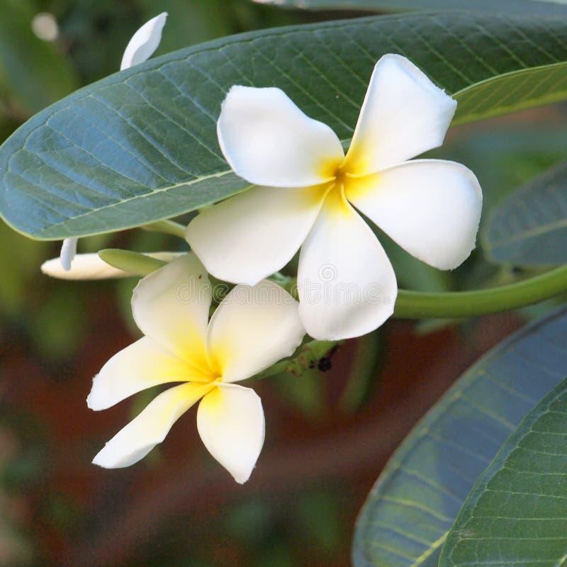 Weißer Plumeria, der auf plumaria Baum blüht stockfotos