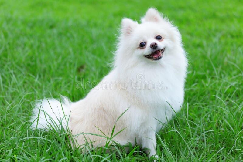 Weißer pomeranian Hund lizenzfreie stockfotografie