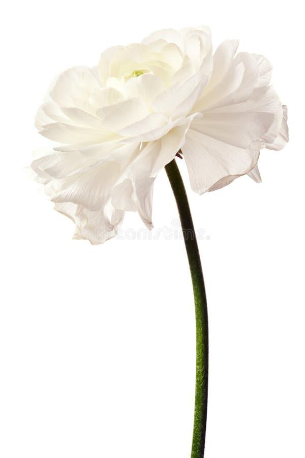 Weißer Ranunculus lokalisiert auf weißem Hintergrund lizenzfreies stockfoto