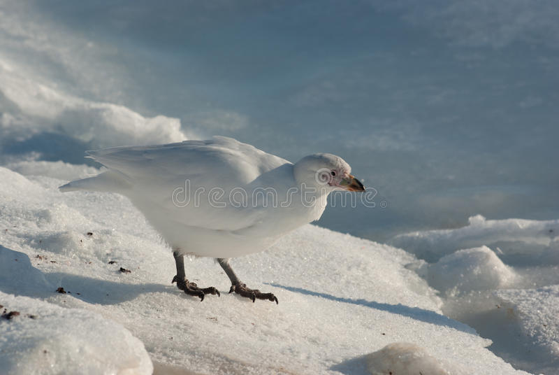 Weißer Regenpfeifer oder Snowy Sheathbill (Chionis albus) lizenzfreie stockfotografie