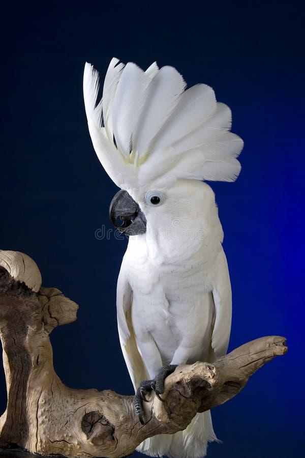 Weißer RegenschirmCockatoo lizenzfreies stockfoto