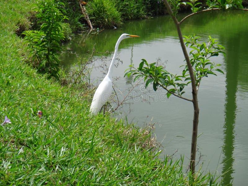 Weißer Reiher auf dem Seeufer stockfotos