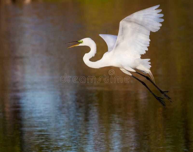 Weißer Reiher, der Flug über Teich nimmt stockfoto