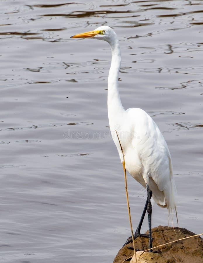 Weißer Reiher entlang dem Fluss lizenzfreie stockbilder
