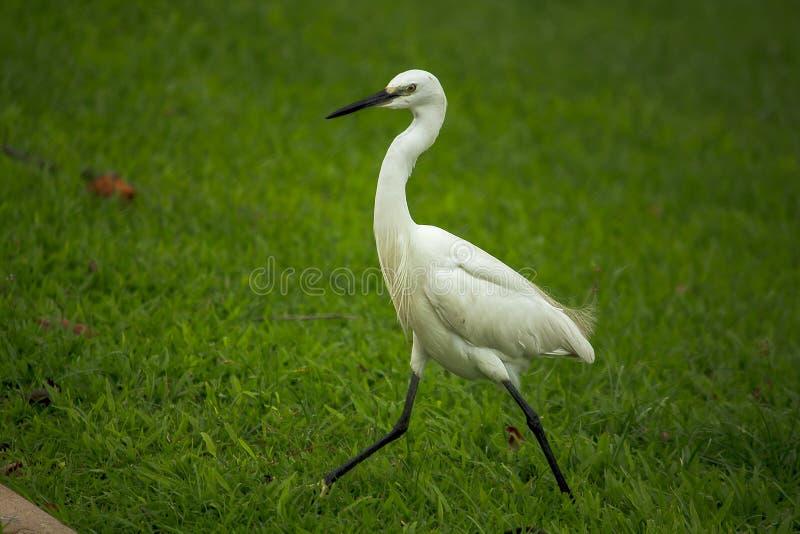 Weißer Reiher geht auf den Rasen lizenzfreies stockfoto